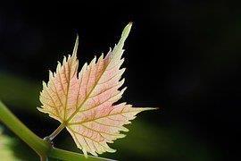 wine-leaf-453507__180